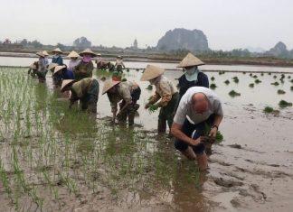 Cultiver le riz au Vietnam