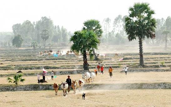 Province d'An Giang le pays des Palmiers 3